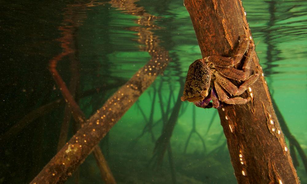 mangrove crab WW22266 Tim Laman