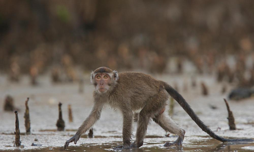 crab-eating macaques WW22261 Tim Laman