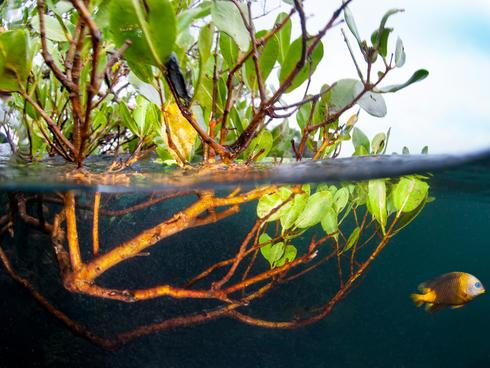 mangrove and fish WW288959 Antonio Busiello