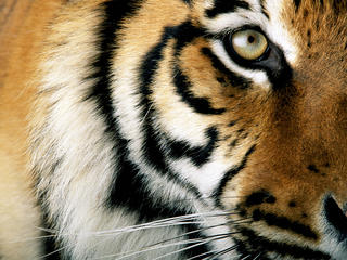 Close-up of a tiger eye