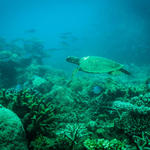 Green turtle swimming through corals and reef fish, Andilana, Nosy Hara Marine Park, Madagascar.