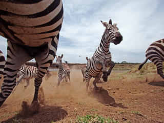 Plains Zebra (Equus burchellii) herd running.