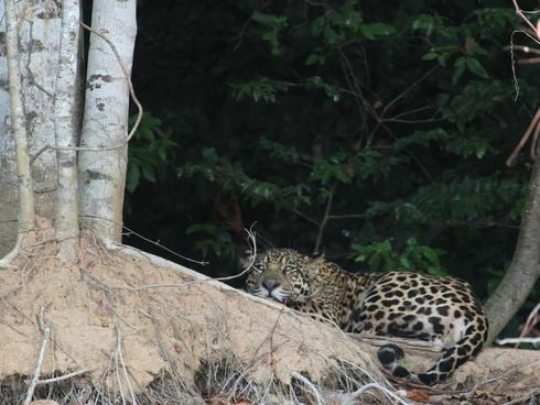 Jaguar on the Pantanal, Porto Jofre, Brazil.