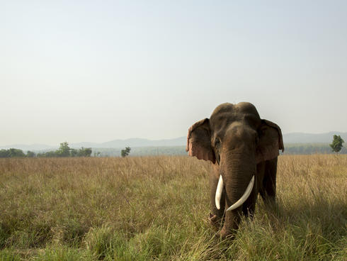 Asian elephant (Elephas maximus) in grassland.