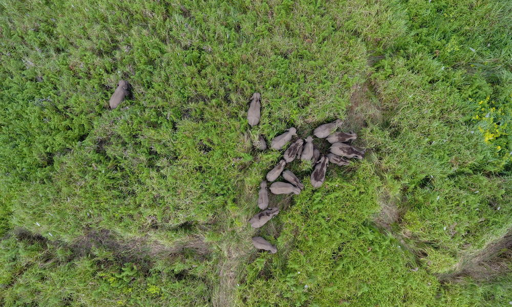 A group of wild Sumatran elephants are tracked via a drone in the area of community plantation Musarapakat village.