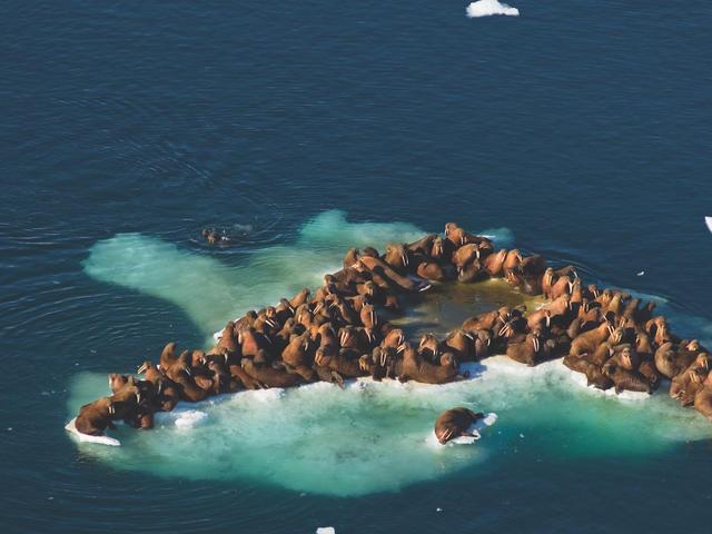Walrus crowded on sea ice