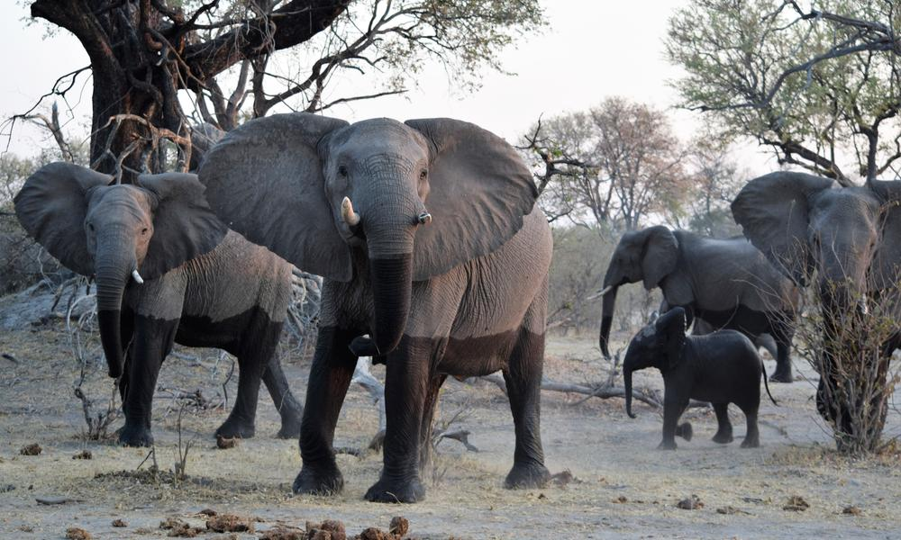 African Bush Elephant (Loxodonta africana) in Linyanti Reserve, Botswana