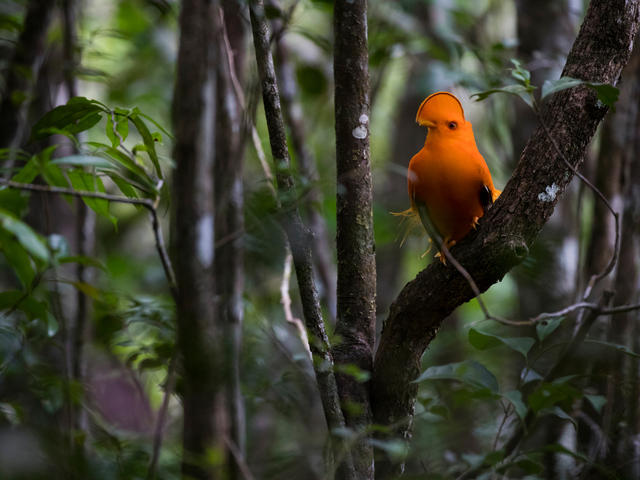 Guianan, Cock-of-the-Rock, the symbol of French Guiana, shot in the Nouragues Natural Reserve