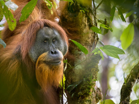 An adult male tapanuli orangutan sitting in the tree of a forest.