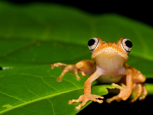 Frog on a leaf in Madagascar