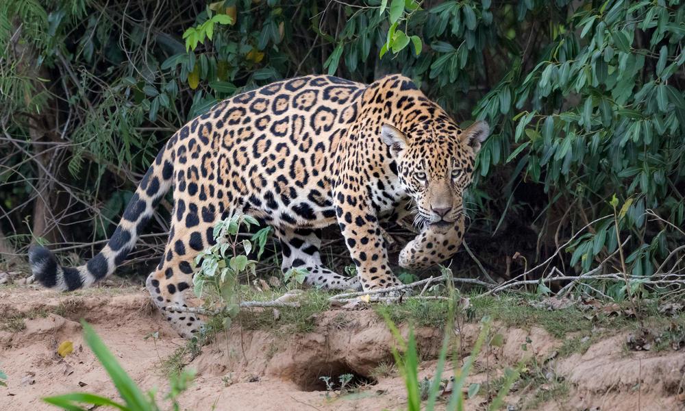 Jaguar in the Amazon