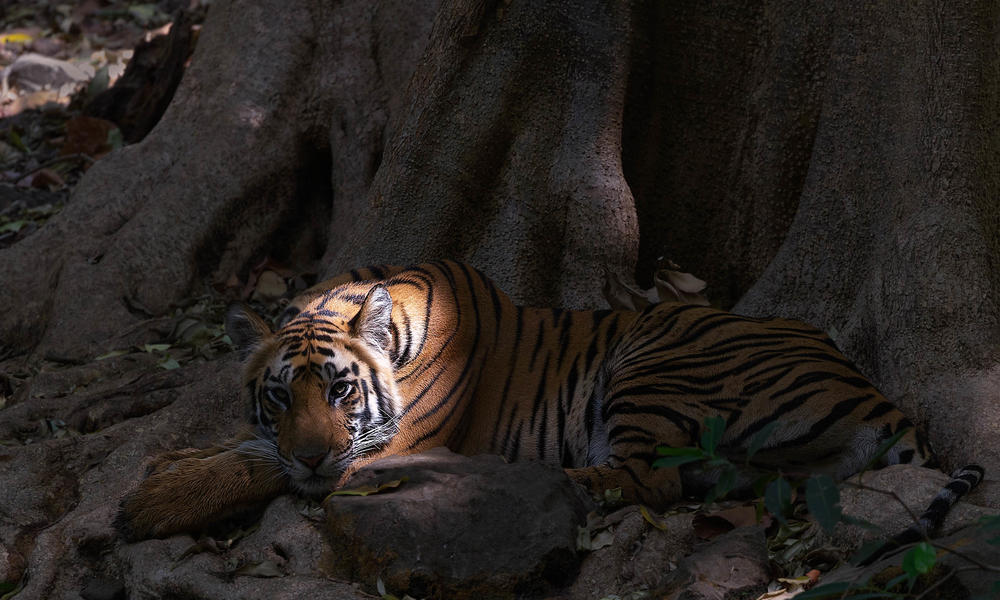 Tiger laying in shade
