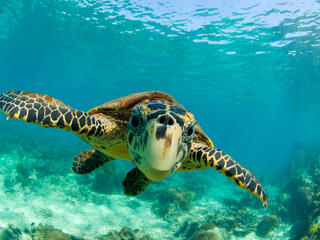 Hawksbill turtle swimming underwater in North Madagascar.