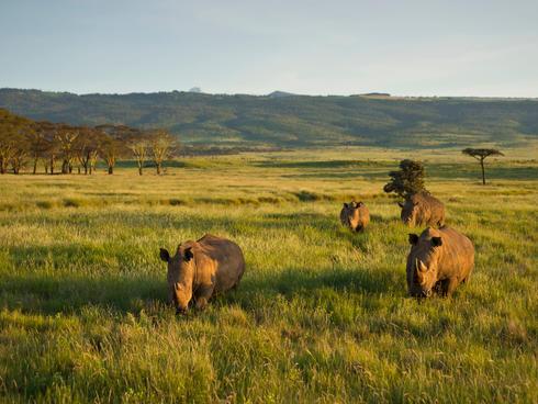 White Rhinoceros (Ceratotherium simum), Kenya.