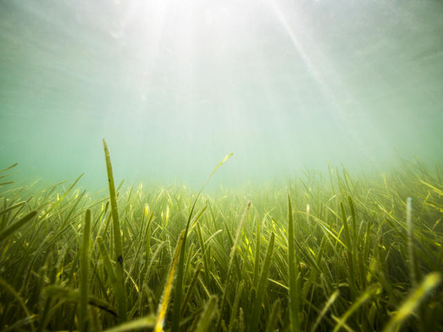 Seagrass bed in the United Kingdom