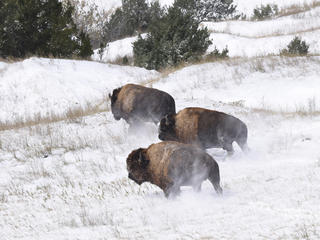 bison release