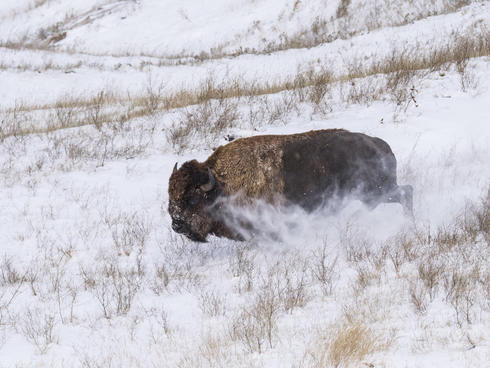 Bison released into Badlands National Park