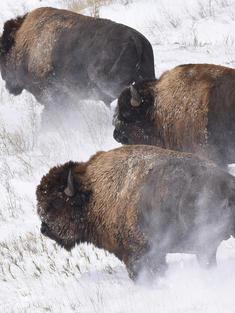 NGP bison release