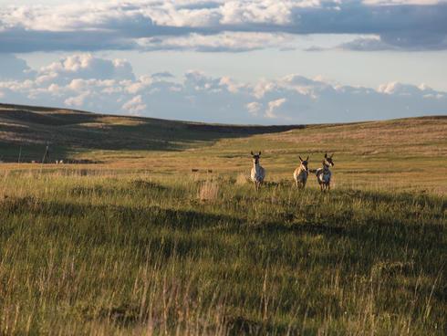 Pronghorn in grassland