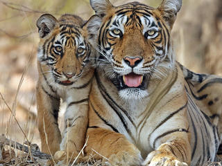 Bengal tiger and cub
