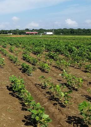 Food crops in the US Delta Region