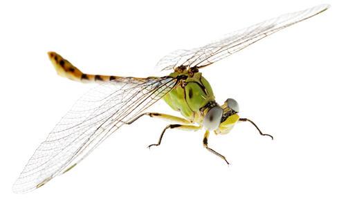 Jade clubtail dragonfly