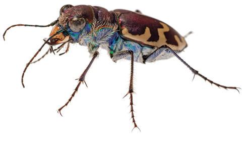 Big sand tiger beetle