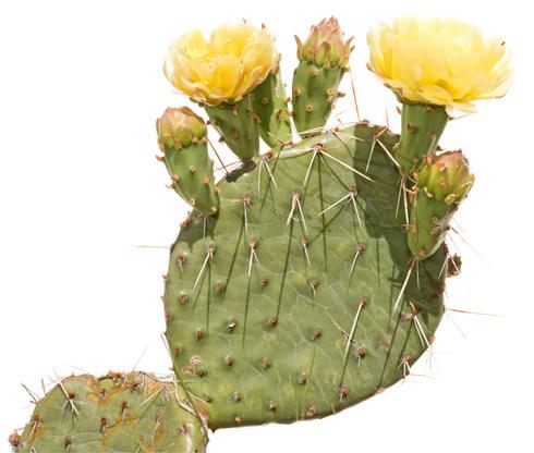 Plains prickly pear cactus