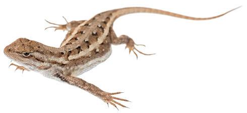 Prairie fence lizard