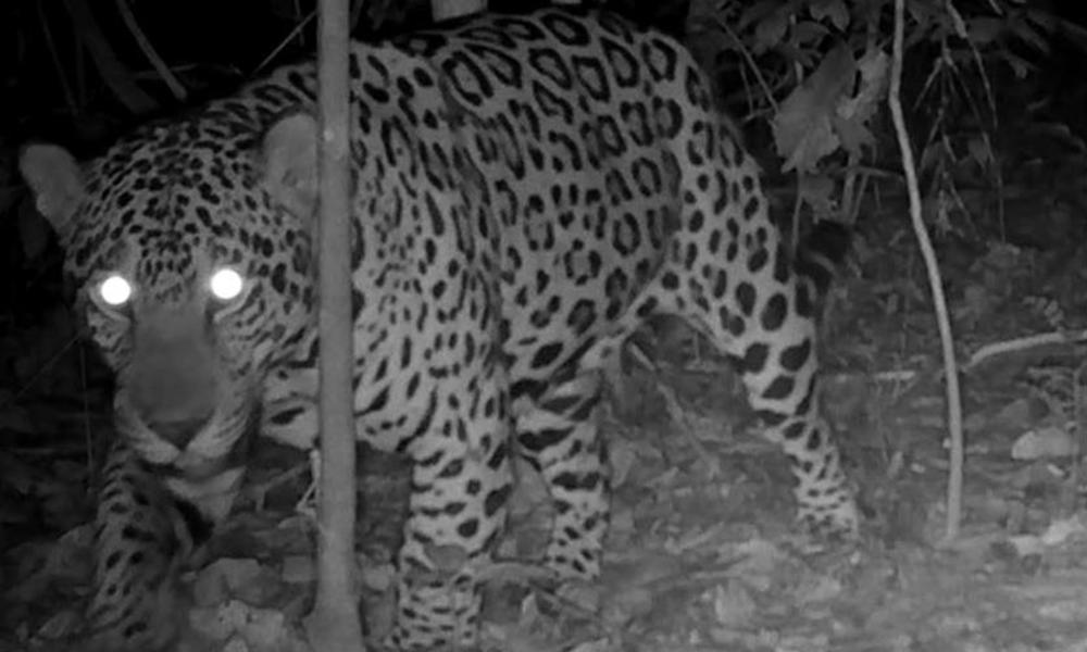 Photo of a jaguar in Brazil taken by a camera trap