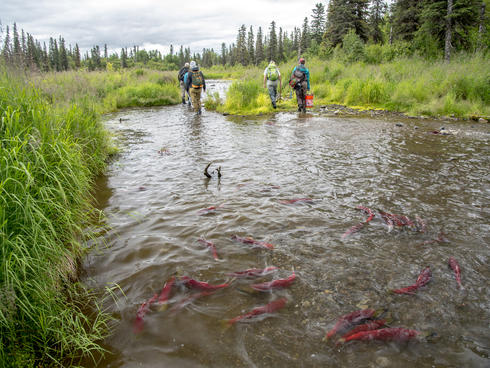 Salmon in a stream that's part of the Bristol Bay watershed