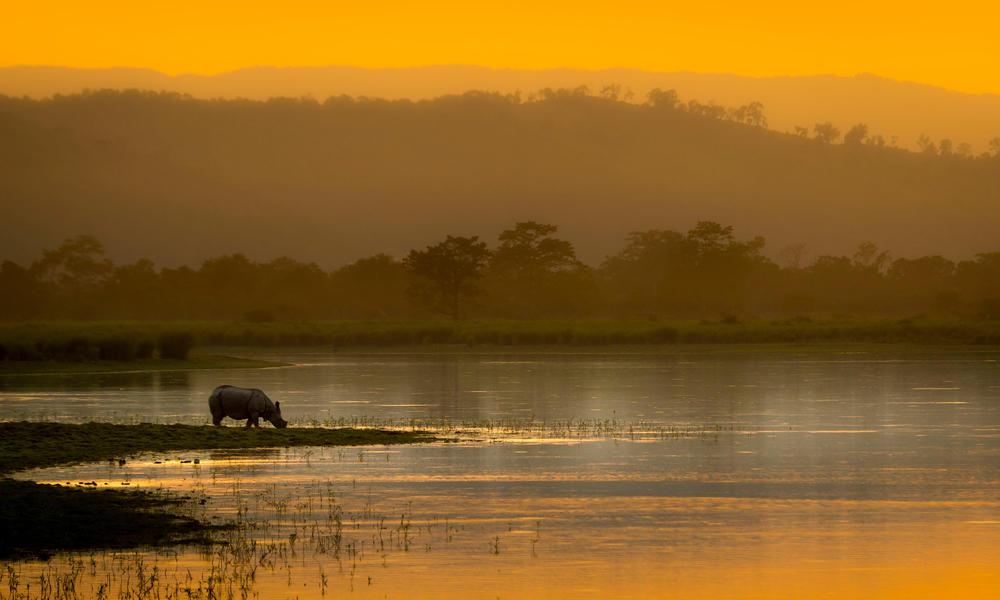 An Asian rhino (Rhinoceros unicornis) drinks by the waters edge at sunset. Kaziranga National Park, India.