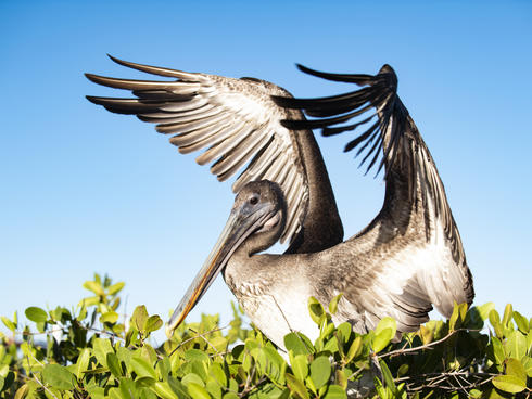 Brown pelican (Pelecanus occidentalis) in Playa de los Alemanes on Santa Cruz Island, Galapagos, Ecuador