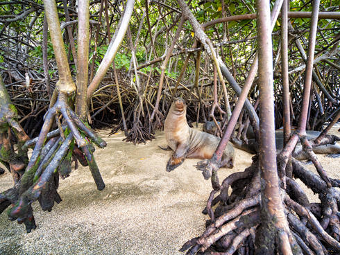 Galápagos sea lion (Zalophus wollebaeki) in the mangroves in Baronesa Bay, Floreana Island, Galapagos, Ecuador