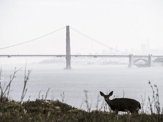 Doe in front of the Golden Gate Bridge, San Francisco, California USA.