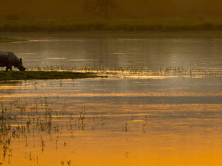 An Asian rhino (Rhinoceros unicornis) drinks by the waters edge at sunset. Kaziranga National Park, India.