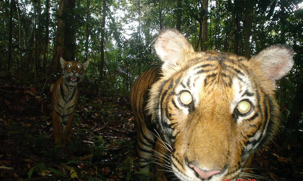 Camera trap image of a Malayan tiger.