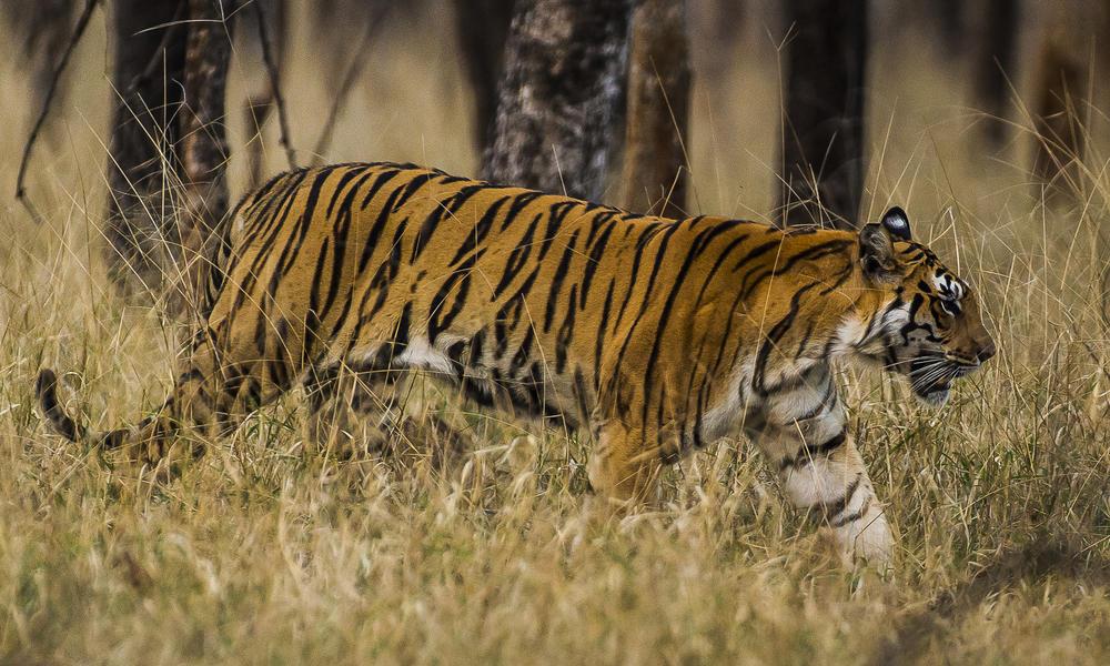 tigre caminando por la hierba