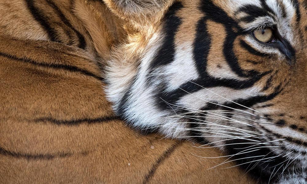 Primer plano de la cara de tigre