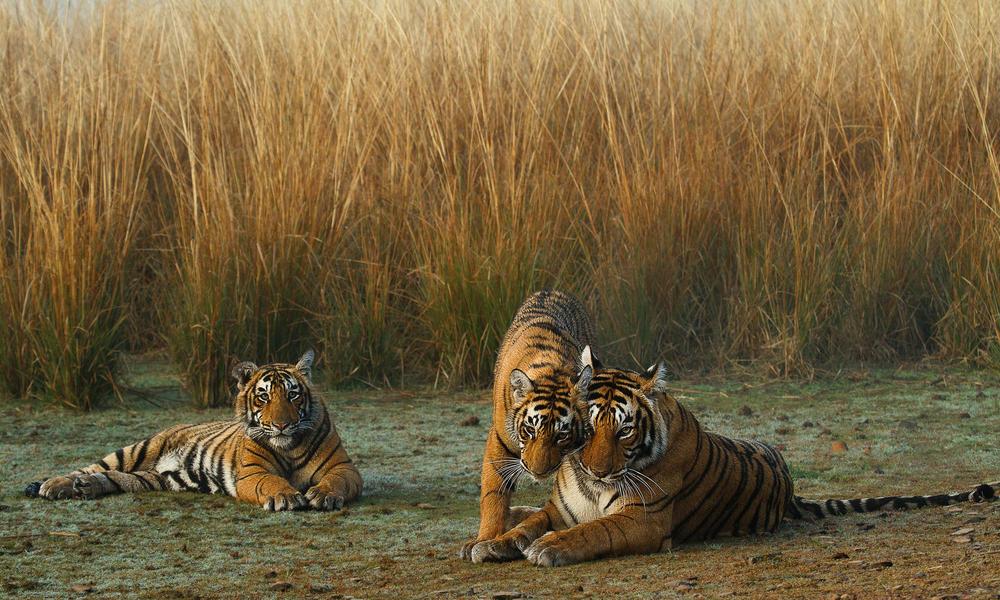 Madre tigre y cachorros cerca de hierba alta