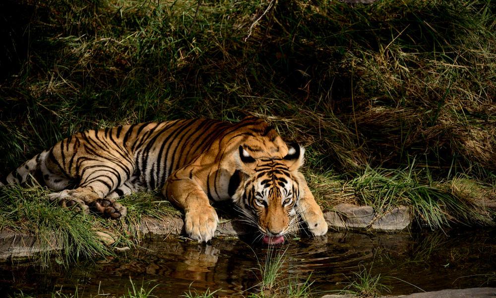 Tigre bebiendo de una fuente de agua