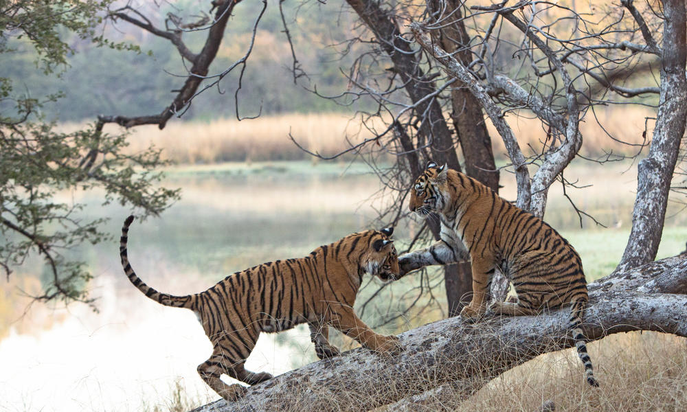 Tigers play on a fallen branch