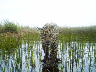 Camera trap of a jaguar (Panthera onca) in Brazil. Maracá-Jipioca Ecological Station, Amapa, Brazil.