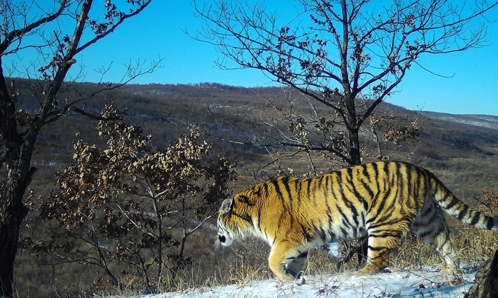 tiger in Komissarovsky Wildlife Refuge