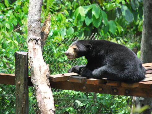 A sun bear in Borneo