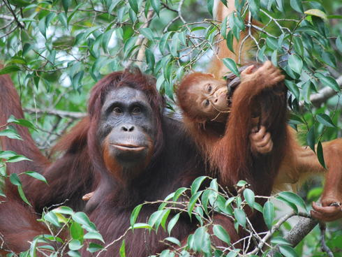 An orangutan in Borneo