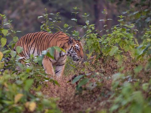 Tiger (Panthera tigris tigris), female. Kanha national park.