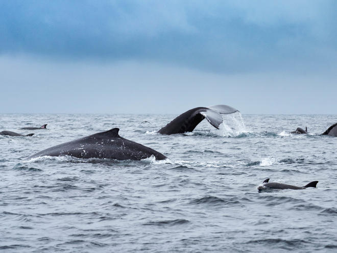 Whales and dolphins swimming in Isola de la Plata, Ecuador.