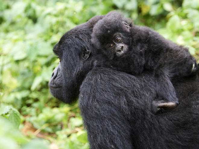 Female Mountain gorilla (Gorilla beringei beringei) carrying baby on back, member of the Kabirizi group, Virunga National Park, North Kivu, Democratic Republic of Congo, Africa, Critically endangered.