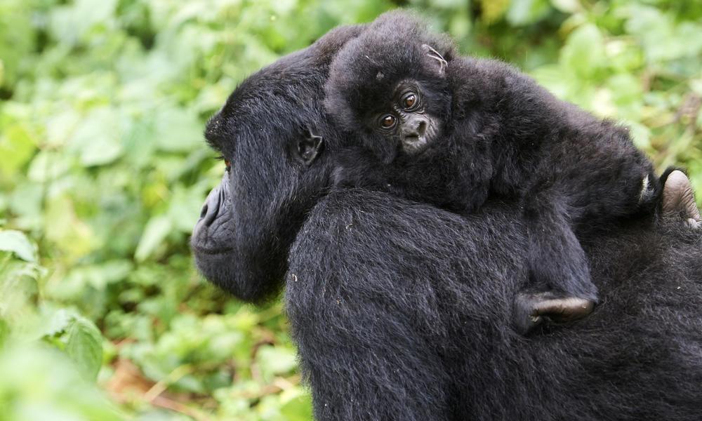 Gorila de montaña hembra (Gorilla beringei beringei) con bebé en la espalda, miembro del grupo Kabirizi, Parque Nacional Virunga, Kivu del Norte, República Democrática del Congo, África, en peligro crítico de extinción.